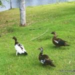 Paseando a visitar los patos en el lago